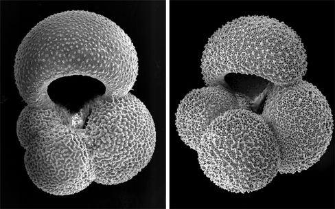 Foraminiferen-Gehäuse: Immer dünnere Kalkschalen
