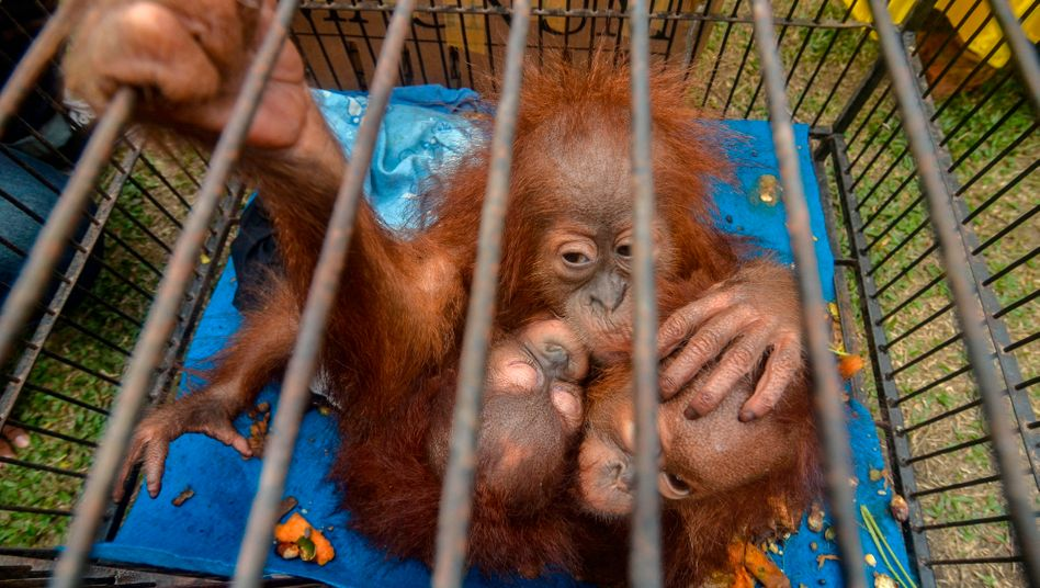 Junge Orang-Utans, die in die Fänge von Wilderern geraten sind
