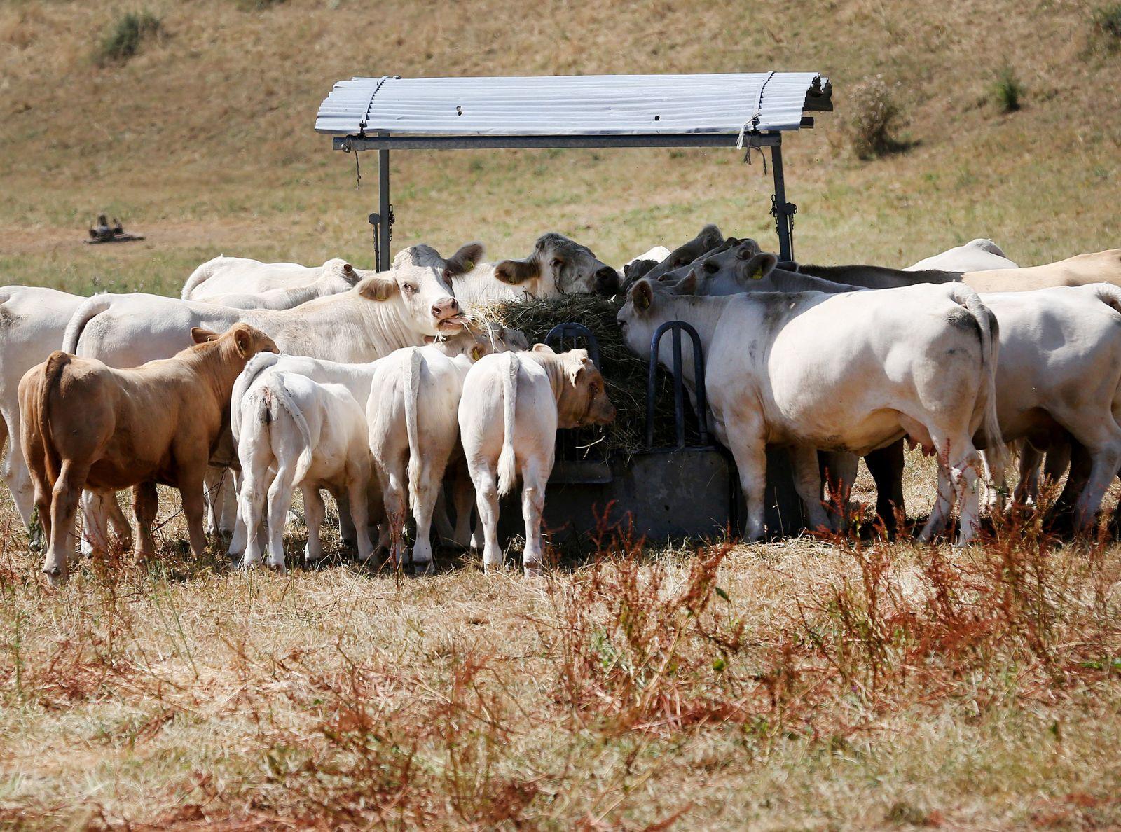 Sommerhitze - Kühe