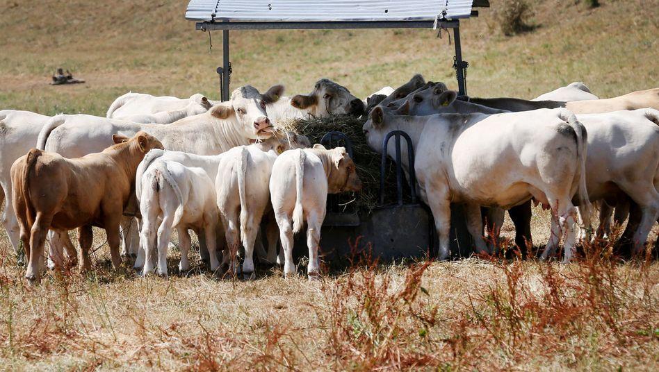 Kühe auf einer von der Sonne verbrannten Weide in Nordrhein-Westfalen