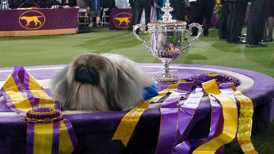 Siegerhund Wasabi in Tarrytown im US-Bundesstaat New York: »Er sieht einfach wunderbar aus«