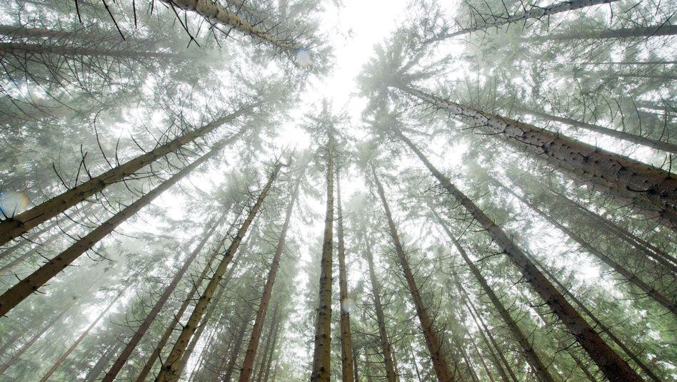 Wald in Deutschland: Angst vor einem neuen Baumsterben