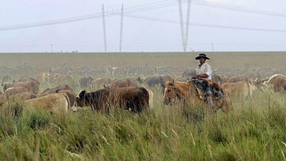 Rinderherde in Argentinien