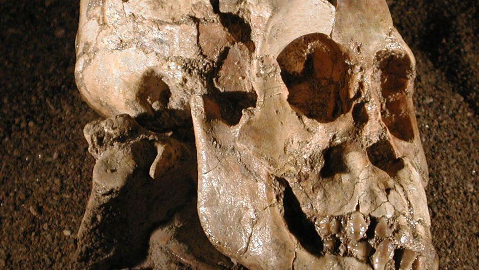 Schädel eines Australopithecus afarensis: Zu Fuß und kletternd unterwegs
