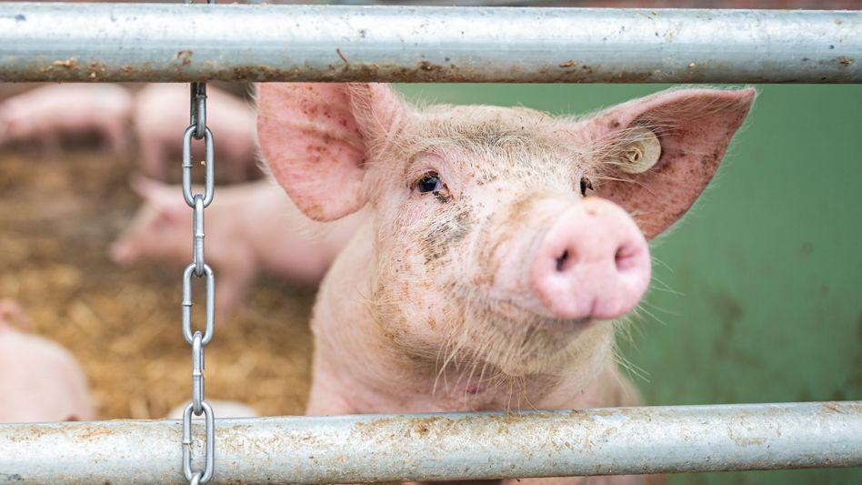 Ein Schwein auf einem Biohof (Archivbild): Herkunft macht einen Unterschied