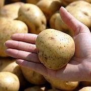 Gut fürs Gehirn? Stärkehaltige Nahrungsmittel wie Kartoffeln sollen bei unseren Vorfahren das Hirnwachstum gefördert haben