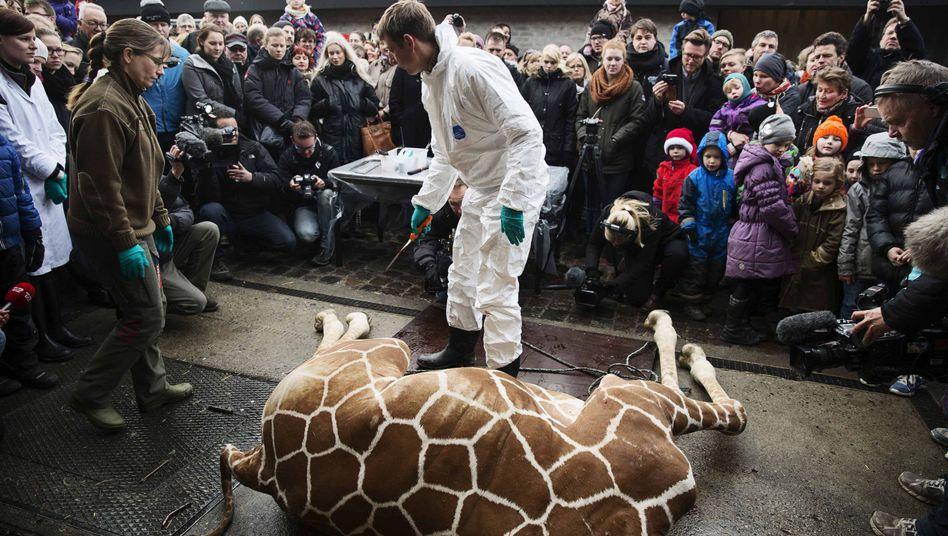 Die öffentliche Sezierung von Giraffe Marius 2014: Auch in Odense sollen wieder Kinder zusehen