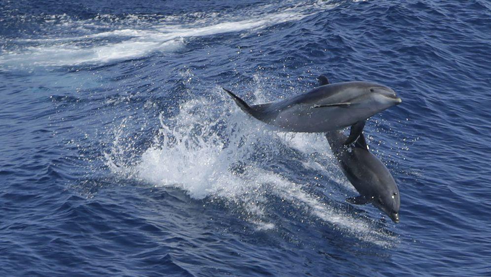 Verhaltensbiologie: Die geistigen Fähigkeiten der Delfine