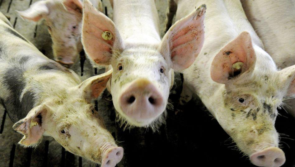 Schweine im Mastbetrieb: Mediziner warnen vor exzessivem Antibiotika-Einsatz