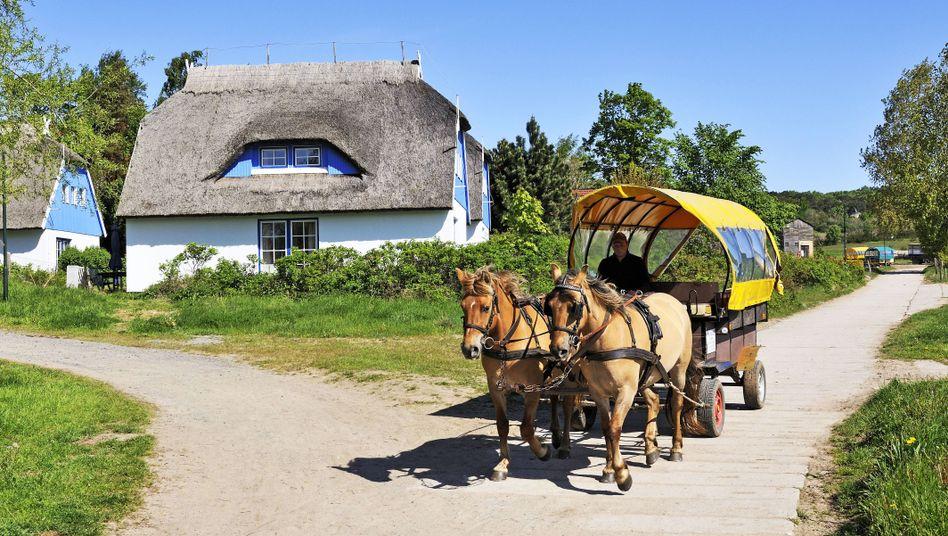 Pferde auf Hiddensee mit einem Kremserwagen
