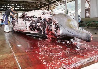 Umstrittener Fang: Japanische Fischer zerlegen einen zehn Meter langen Entenwal (Archivfoto)