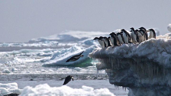 Adeliepinguine: Leben im Eis