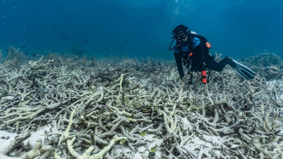 Taucher am Greet Barrier Reef: Korallenbleichen setzen den Nesseltieren zu