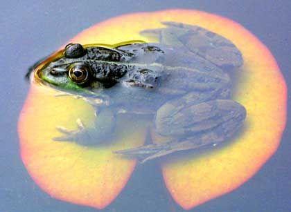 Erwachsenes Froschmännchen: Kein lautes Quaken
