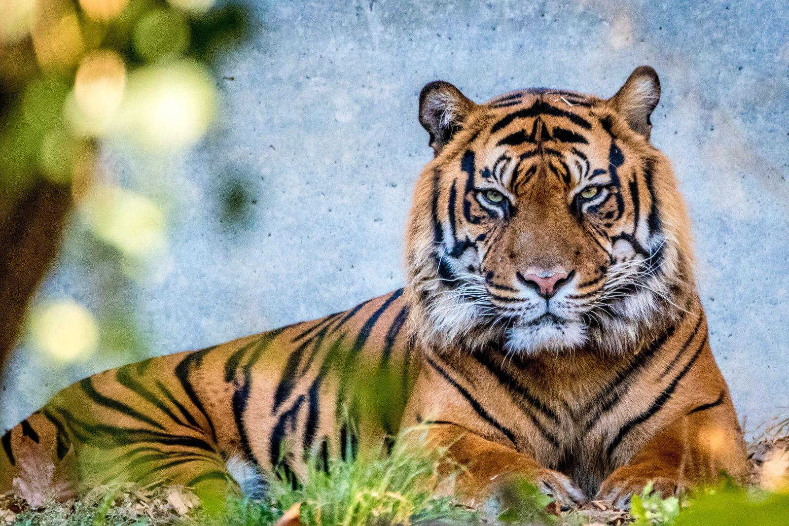 """Sumatra-Tiger """"Vanni"""" im Frankfurter Zoo"""