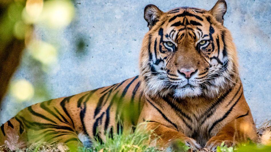 In Oakland werden nun auch Tiger gegen Covid-19 geimpft (Symbolbild)