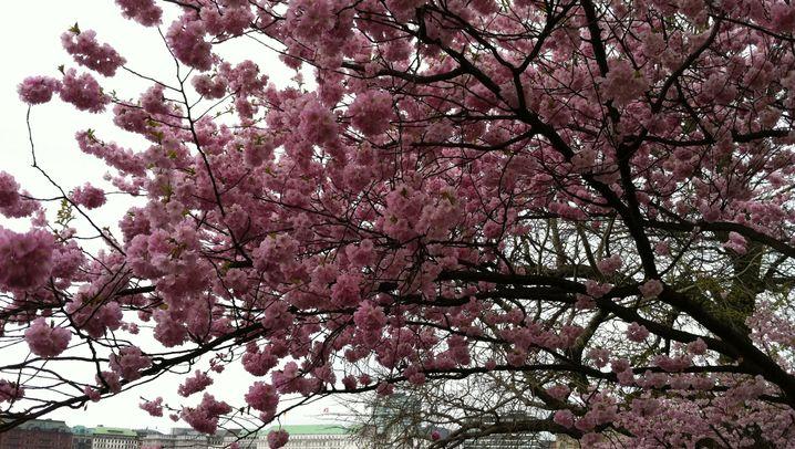 Retro-Optik: Manipulierte Kirschblüte