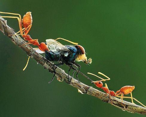Teamwork: Die Fliege ist viel größer als sie, doch die Ameisen sind smarter. Sie arbeiten zusammen und schaffen es dadurch, auch schwere Beute zu erlegen und in den Bau zu bringen. Dort wird schwesterlich geteilt.