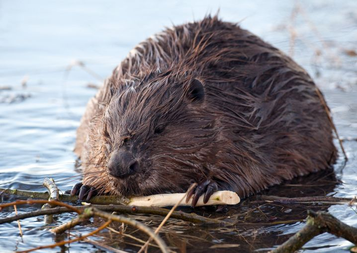Beavers were almost extinct in Germany a century ago. Now they're back.
