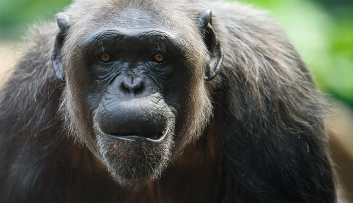 Schimpanse (Archivbild)