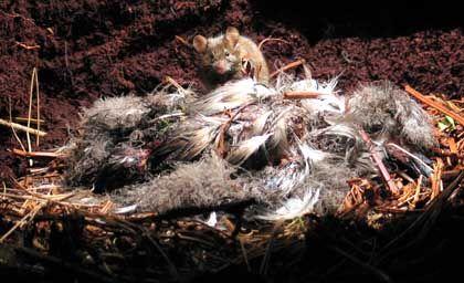 Maus vor den Resten eines Albatros-Kükens: Ungewöhnlich aggressive Nager