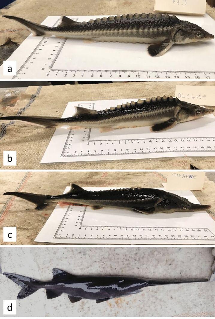 Waxdick (oben), Löffelstör (unten) und die Mischformen dazwischen (b und c)