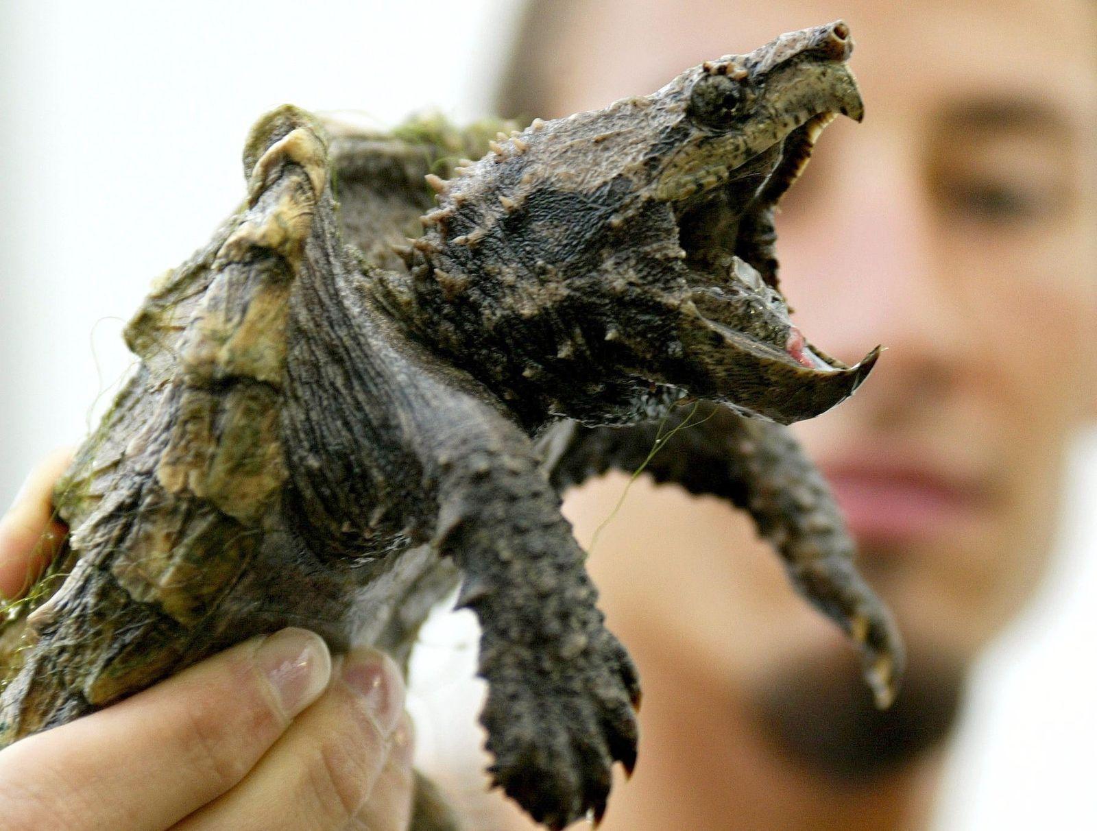 Alligator Schildkröte