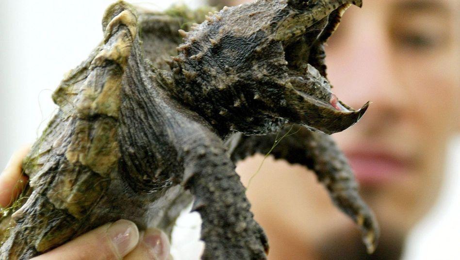 Sommerlochtier 2013: Dank einer ausgesetzten Alligatorschildkröte in einem bayerischen Badesee wurden die Chelydridae plötzlich populär (Archiv)