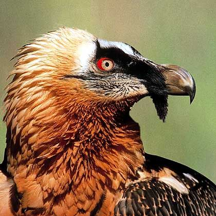 The bristles at the base of the beak resemble a beard and give the bird its name.