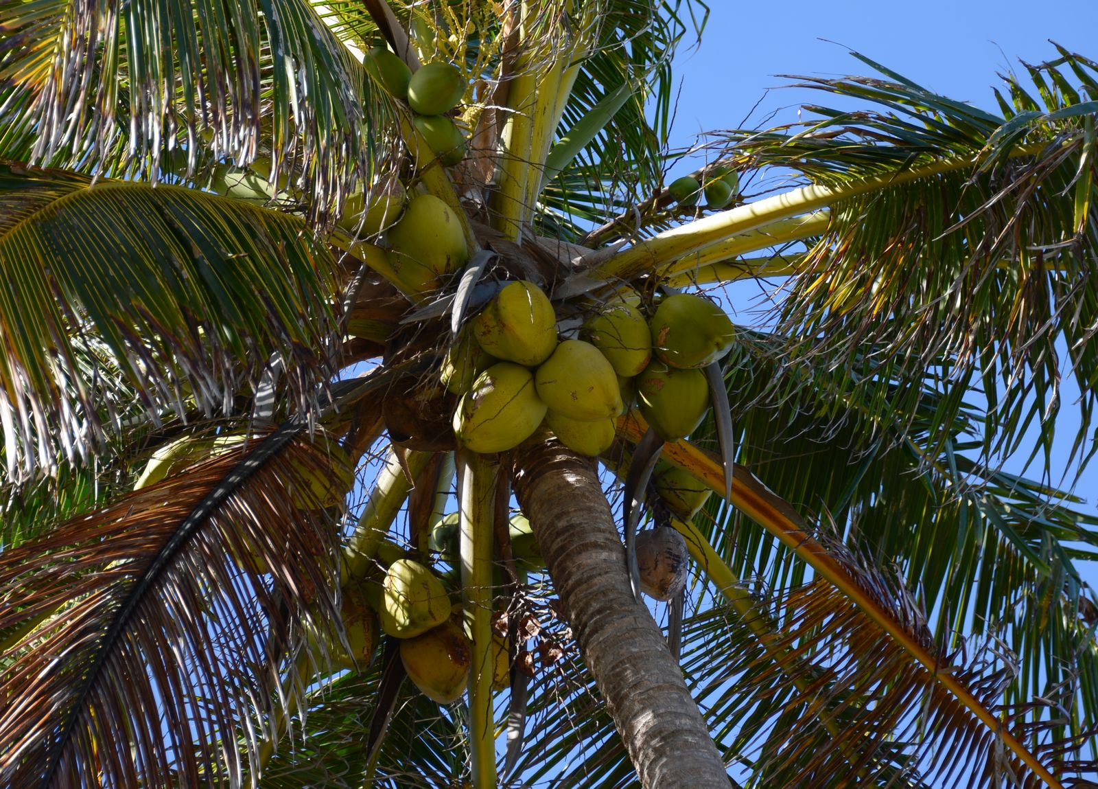 Kokosnuss/ Palme