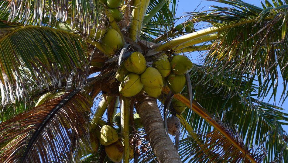 Kokosnüsse (Archivbild): Einfacher Rechnen mit Dezimal- und Binärzahlen