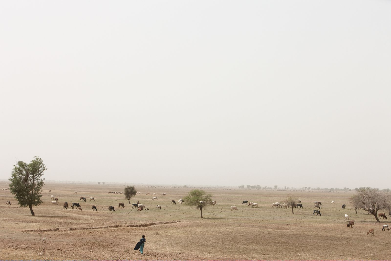 Man walking through the cattle in the field