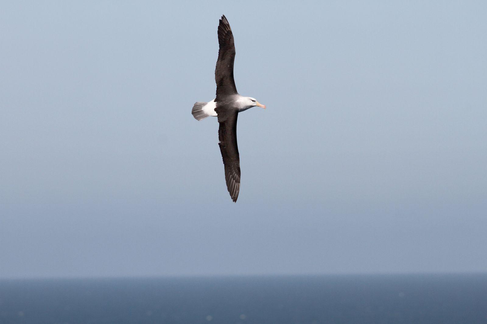 Albatros / Helgoland
