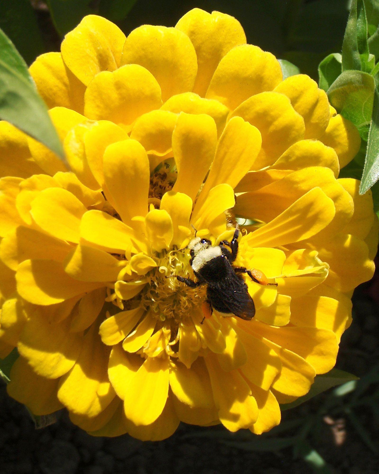 Wissenschaft/ Hummeln fliegen auf die bunte Vielfalt