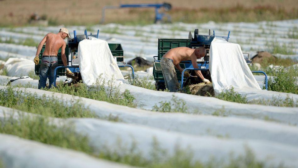 Erntehelfer in Brandenburg: Zwölf Prozent der Betriebe von Mindestlohn betroffen