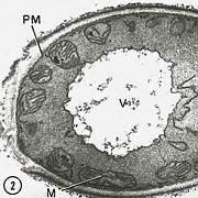 """Zelle eines Hefepilzes mit Zellkern (Mitte): """"Intakte Mammut-Zellen gibt es nicht"""""""