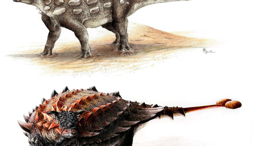 Evolutionäre Aufrüstung: Wie der Ankylosaurus zur Keule kam