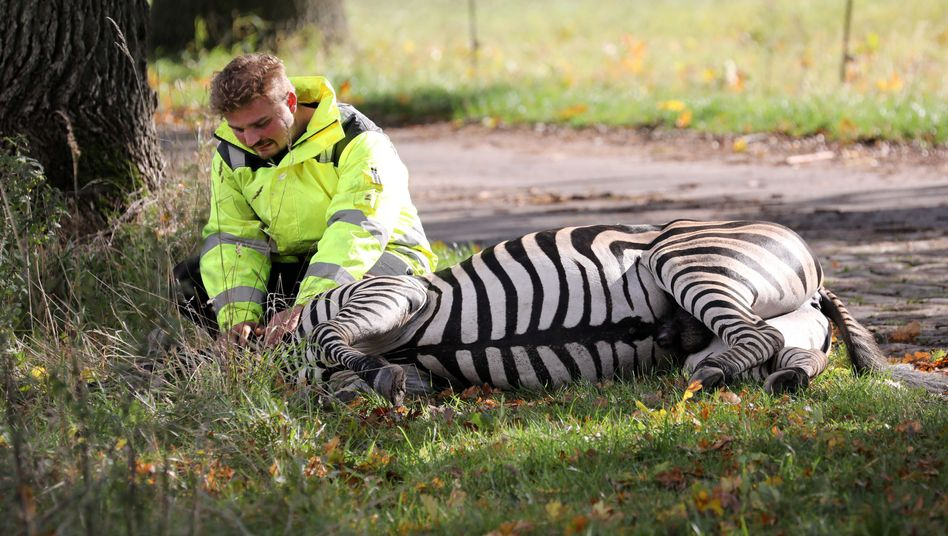 Trauer um Pumba: Zirkus-Dompteur Angelo Madel mit dem toten Zebra