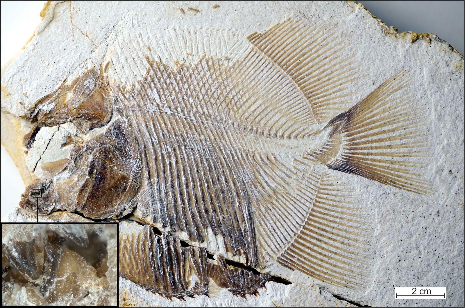 EINMALIGE VERWENDUNG Urzeit/ Piranha/ Fisch