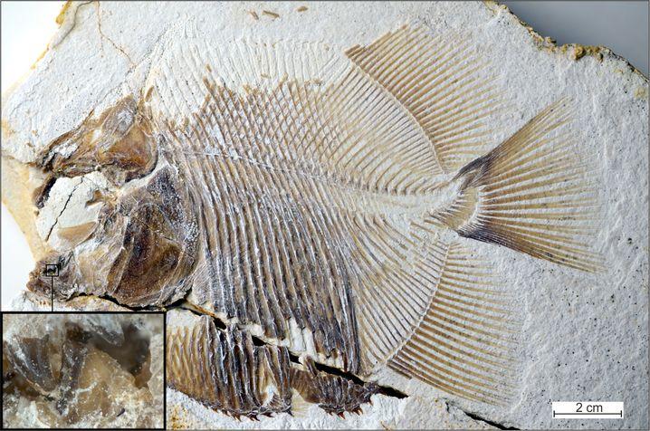 Fossil-Fund aus dem Solnhofener Plattenkalk