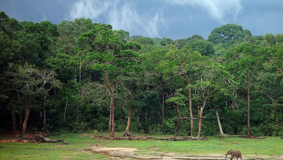 Waldelefant auf einer Lichtung im zentralafrikanischen Dzanga-Sangha: Immer mehr seltene Tierarten verlieren ihren natürlichen Lebensraum
