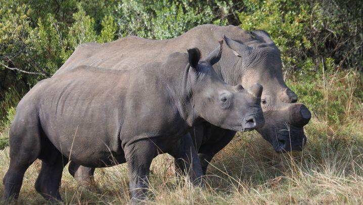 Bedrohte Art: Jagd auf Nashörner in Afrika