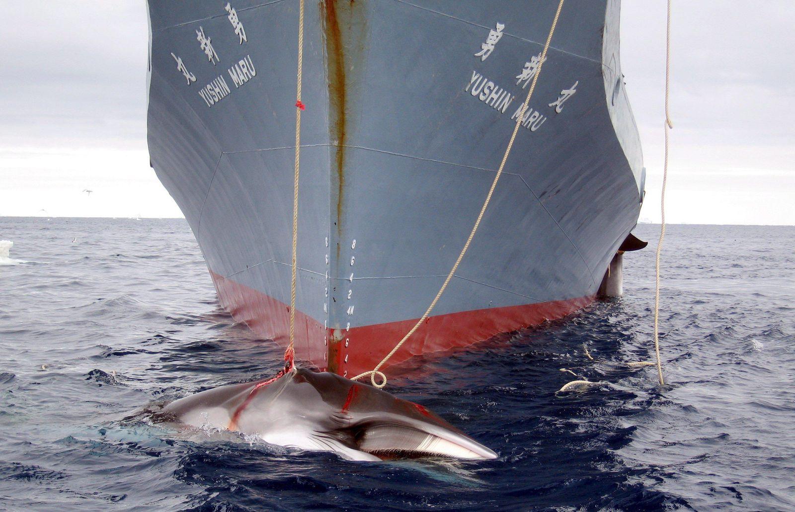 EINMALIGE VERWENDUNG Walfang