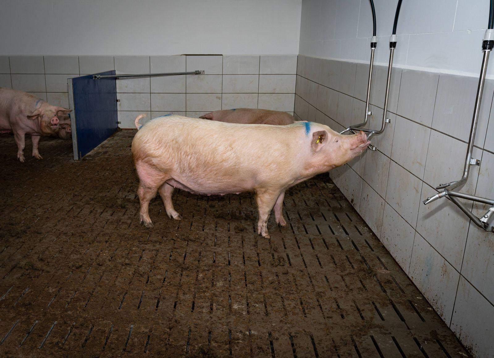 Schweinestall - Neubau, freilaufende Sauen in Gruppenhaltung. Innenansicht eines neu erbauten Sauenstalles nach neuesten