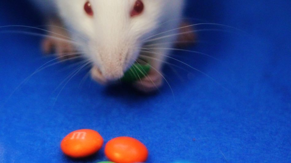 Ratte auf Schokotrip: Schon beim Anblick wird eine opiumähnliche Substanz frei