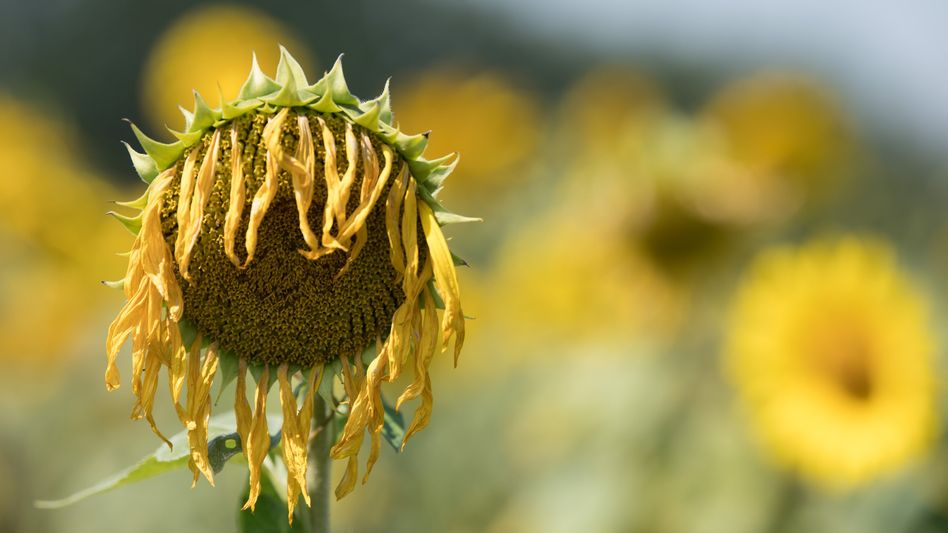 Ein vertrocknete Sonnenblume steht auf einem Feld in Dresden