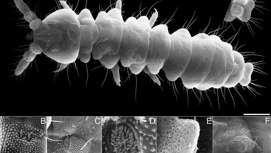 Springschwanz unter dem Mikroskop: Leben tief im Kalkstein