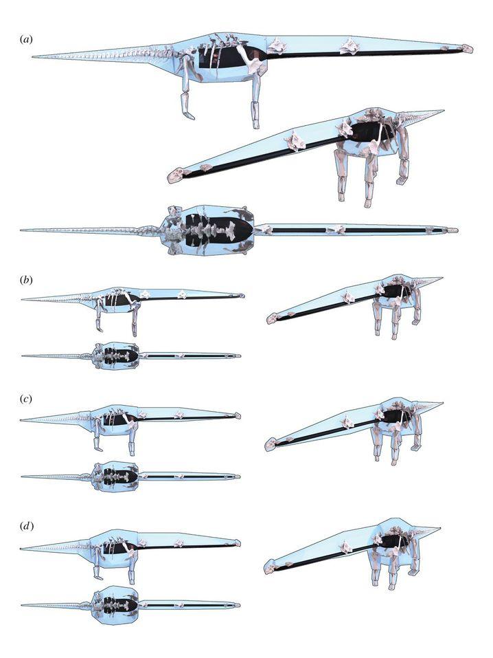 """Modellierung der möglichen Körperformen von Dreadnoughtus in drei Varianten - """"schlank"""", plus 21 Prozent und """"maximal"""": eine Schätzung, die verschiedene Wahrscheinlichkeiten erlaubt"""