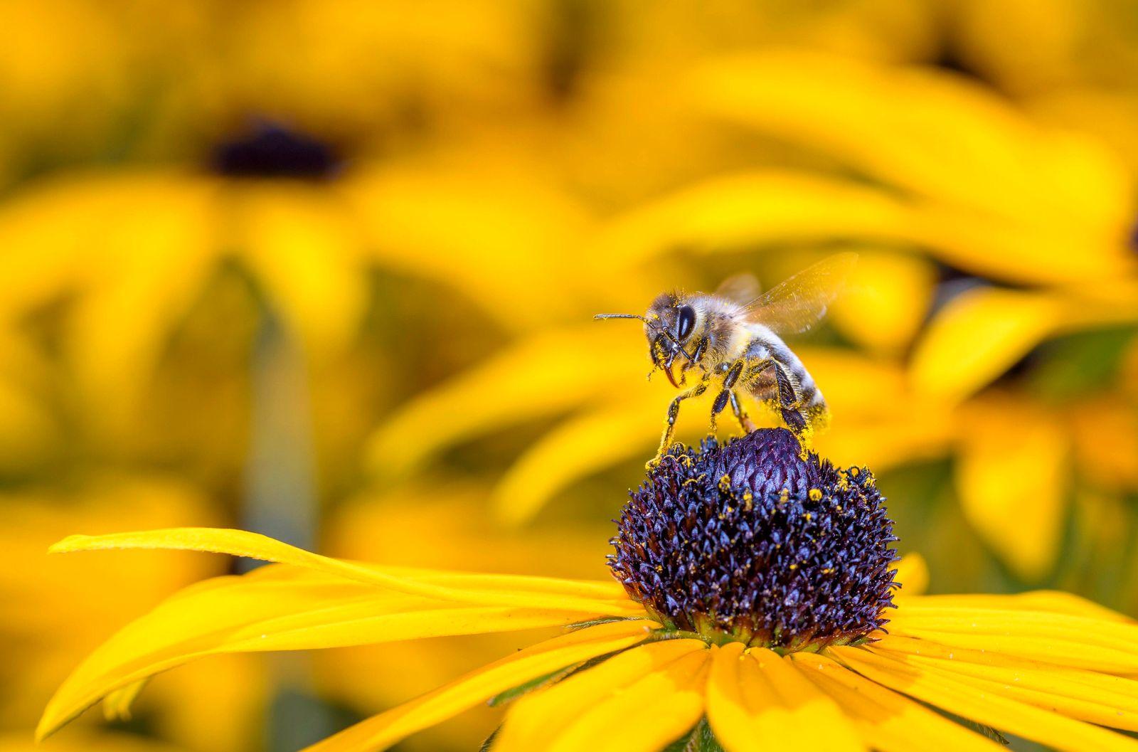Biene - Apis mellifera - bestäubt eine Blüte des gewöhnliches Sonnenhuts - Rudbeckia fulgida *** Bee Apis mellifera poll