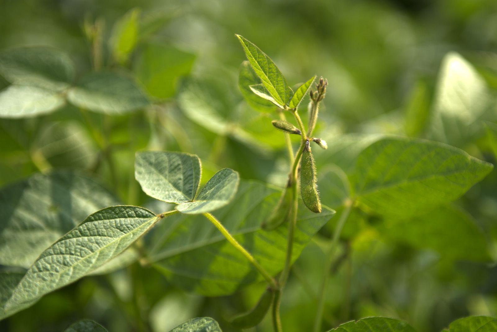 Biolandbetrieb Wittenberg - Sojapflanze